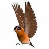 foto of songbird  - 3D digital render of a flying songbird grosbeak isolated on white background - JPG