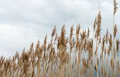 Waving Reeds And A Cloudy Sky