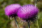 image of scottish thistle  - macro shot of a vibrant magenta thistle flower