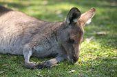 Kangaroo outside