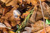 Dry Acorn And Oak Leaves