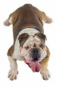 English bulldog dog lie down and looks up