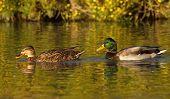 Mallard or wild duck couple, anas platyrhynchos