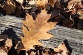 Oak Leaf on Ground