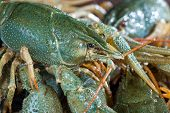 Heap Live Crayfish