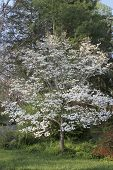 picture of dogwood  - A dogwood tree in covered in white flowers before its leaves emerge in early Springtime - JPG