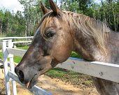 tonguewaghorse