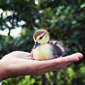 Little Duckling In A Man's Hand
