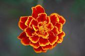 Macro of Tagetes flower