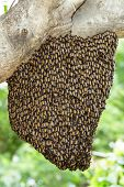 picture of swarm  - Swarm of honey bee clinging on tree - JPG