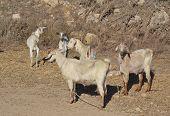 Goats, Greece.