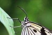 foto of nymphs  - Large Tree Nymphs butterfly on the green leaf - JPG