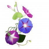 Morning Glory vine in bloom (Ipomoea purpurea)