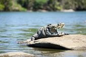 foto of crocodiles  - The Mugger or Indian or marsh crocodile is a freshwater crocodile in South Asia - JPG