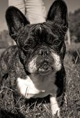 French bulldog looking at viewer in sepia