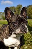 French Bulldog in grassy field
