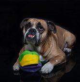 Bulldog posed with his ball