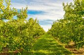 Rows Of Green Apple Trees