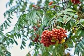 Red Berries Of A Mountain Ash