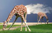 Giraffes bending