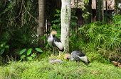 Two Crowned Cranes In Natural Park