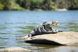 stock photo of crocodile  - The Mugger or Indian or marsh crocodile is a freshwater crocodile in South Asia - JPG