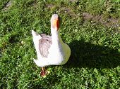 Goose on the green grass