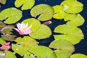 Pink Lilly On Green Pads