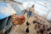 Farmer Feeding Chickens