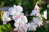 Dendrobium Pink Nagarindra Orchid