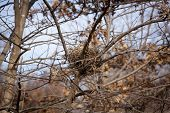 A birds nest made of twigs built in the branches of a tree.