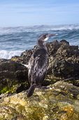 A cormorant seabird rests on an oceanfront reef during an early morning sunrise.
