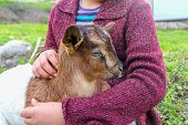 picture of baby goat  - Little girl holding the small goat - JPG