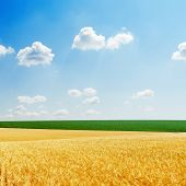 fields with golden harvest and green grass and blue sky