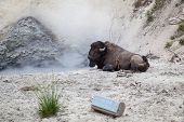 Buffalo At Mud Volcano