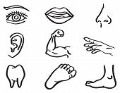 Human Body Parts Vector Illustration In Line Art Style