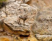 Baby Desert Bighorn Sheep Capitol Reef National Park