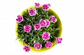 image of carnation  - Top view of purple Berry mini carnation dianthus flower with water drops in the colorful flower pot on the white background - JPG