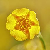 foto of buttercup  - One flower buttercup meadow with blurred background - JPG