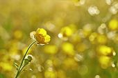 pic of buttercup  - One flower buttercup meadow with blurred background - JPG