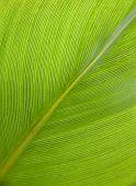 green bodhi leaf background, close up shot