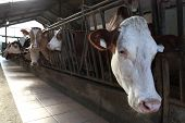 foto of dairy barn  - cows lined up on the farm in the barn - JPG