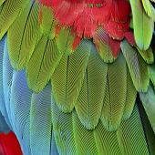 foto of green-winged macaw  - Beautiful nature background texture of Greenwinged Macaw feathers pattern - JPG