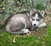 foto of puppy eyes  - Pretty blue eyed Husky puppy laying in the grass at the base of a tree - JPG