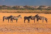 picture of dry grass  - Zebras in the dry grass in Masai Mara - JPG