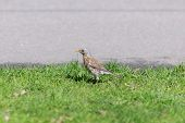 stock photo of snowbird  - snowbird on the grass beside the road - JPG