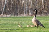 pic of mother goose  - An adult Canadian Goose  - JPG