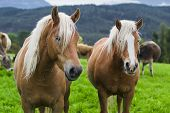 stock photo of south tyrol  - horses in an Alpine meadow - JPG