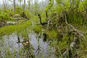 image of swamps  - Foggy overgrown swamp or marsh woods early in the morning - JPG