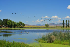 stock photo of honkers  - A picture of a bunch of geese flying over a pond - JPG